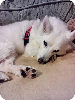 American Eskimo Dog Dog for adoption in Bradenton, Florida - Diamond of Port St. Lucie, FL