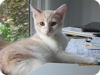Domestic Shorthair Kitten for adoption in Jeffersonville, Indiana - Snuggles