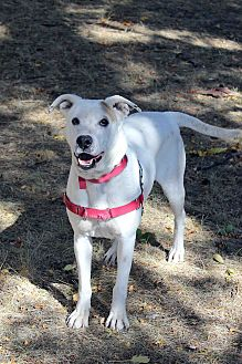 Blue Heeler/American Bulldog Mix Dog for adoption in Westminster, Colorado - Meaghan