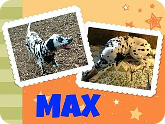 Dalmatian Puppy for adoption in Fort Collins, Colorado - Max