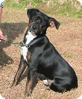 Feist/Australian Cattle Dog Mix Dog for adoption in Maynardville, Tennessee - Scout