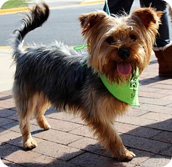 Yorkie, Yorkshire Terrier Dog for adoption in Centreville, Virginia - Billy Dee