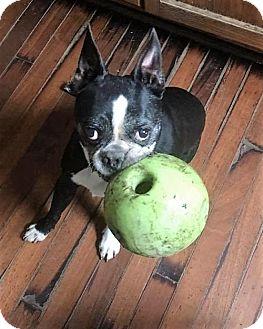 Boston Terrier Dog for adoption in Buffalo, New York - Jake