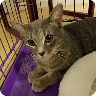 Domestic Shorthair Cat for adoption in Fairfax, Virginia - Remi (with Fieval)