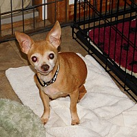 Chihuahua Mix Dog for adoption in Conesus, New York - Spike