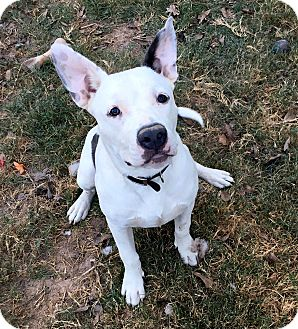 American Bulldog/Blue Heeler Mix Dog for adoption in Boston, Massachusetts - Bruno