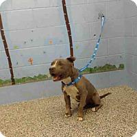 Pit Bull Terrier Mix Dog for adoption in San Bernardino, California - URGENT on 12/1 SAN BERNARDINO