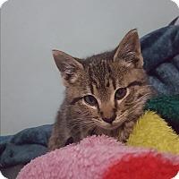 Adopt A Pet :: Tigre - Harrison, NY