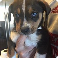 Adopt A Pet :: Rebound - Las Vegas, NV
