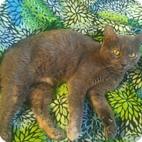 Adopt A Pet :: Violet - Swansea, MA