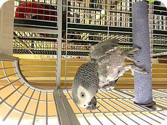 African Grey for adoption in Punta Gorda, Florida - Emmet