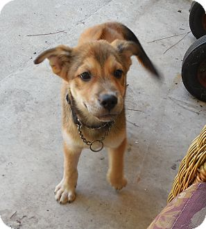 Husky/Rhodesian Ridgeback Mix Puppy for adoption in Ormond Beach, Florida - Angie