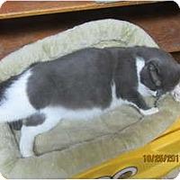 Adopt A Pet :: Thomas - Sterling Hgts, MI