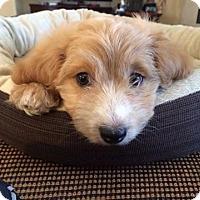 Adopt A Pet :: SASHA - Mission Viejo, CA