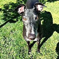 Greyhound Dog for adoption in Swanzey, New Hampshire - Duncan