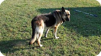 German Shepherd Dog Dog for adoption in Morrisville, North Carolina - Tucker
