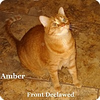Adopt A Pet :: Amber - Bentonville, AR