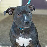 Adopt A Pet :: Blue - PORTLAND, ME