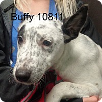 Adopt A Pet :: Buffy - baltimore, MD