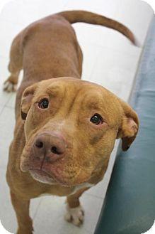 Bullmastiff/Boxer Mix Dog for adoption in Yukon, Oklahoma - Ruga