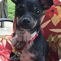 Terrier (Unknown Type, Small)/Miniature Pinscher Mix Dog for adoption in Van Nuys, California - *URGENT* Dodger
