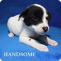 Adopt A Pet :: Handsome - Batesville, AR