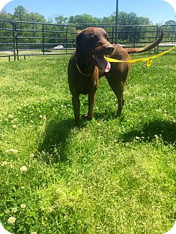 Rhodesian Ridgeback Mix Dog for adoption in Gallatin, Tennessee - Tex