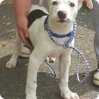 Adopt A Pet :: Astro - Beautiful Baby Boy! - New Hartford, NY