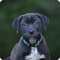 Adopt A Pet :: Rocket - St. Charles, MO