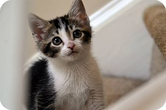 Domestic Shorthair Kitten for adoption in Buford, Georgia - Marie - MUST See Video