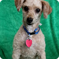 Poodle (Toy or Tea Cup) Mix Dog for adoption in Wichita, Kansas - Remy