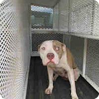 Pit Bull Terrier Mix Dog for adoption in Newnan City, Georgia - Henrietta