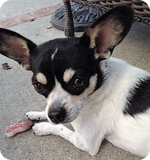 Rat Terrier/Chihuahua Mix Dog for adoption in Pittsburg, California - James Cagney