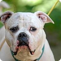 Adopt A Pet :: Stella - Pottsville, PA