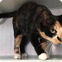Domestic Shorthair Cat for adoption in Manteo, North Carolina - Hilda