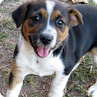 Beagle/Australian Cattle Dog Mix Puppy for adoption in Kittery, Maine - Sassy