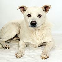 Adopt A Pet :: Frosty American Eskimo - St. Louis, MO
