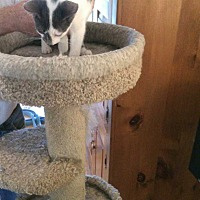 Adopt A Pet :: Cyrano - Fayetteville, TN