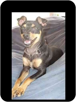 Miniature Pinscher/Chihuahua Mix Dog for adoption in Phoenix, Arizona - Izzy Wizzy