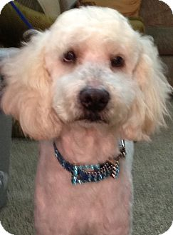 Goldendoodle Mix Dog for adoption in Thousand Oaks, California - Jasper