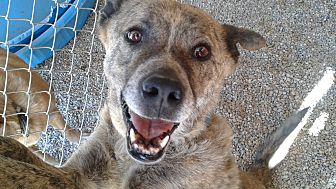 Akita/Shepherd (Unknown Type) Mix Dog for adoption in Littlerock, California - Buddy