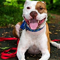 Pit Bull Terrier Mix Dog for adoption in Newark, Delaware - Paulie