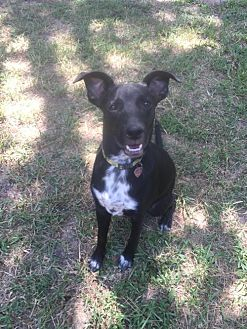 Labrador Retriever/Australian Cattle Dog Mix Dog for adoption in Tomball, Texas - Tipper