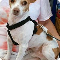 Adopt A Pet :: Cobo - Phoenix, AZ