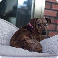 Adopt A Pet :: Nana-POCKET PIT:) - Oak Ridge, NJ