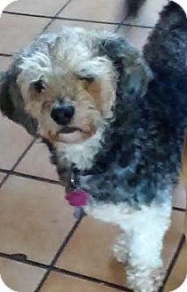 Poodle (Miniature) Mix Dog for adoption in San Diego, California - Bordeaux