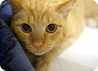 Domestic Shorthair Cat for adoption in Tucson, Arizona - Ed