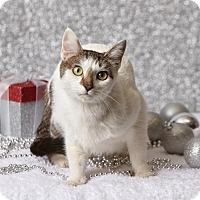 Adopt A Pet :: Amor - Harrisonburg, VA