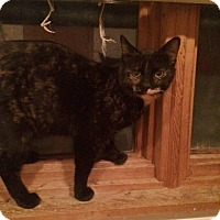 Domestic Shorthair Cat for adoption in Byron Center, Michigan - Shelby