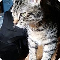 Adopt A Pet :: Tabby Tiger - Parkton, NC